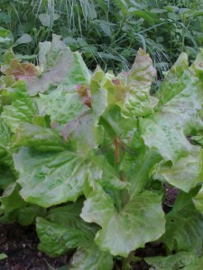 lăcusta salată